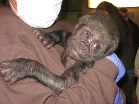 Baby gorilla zoo new england 3