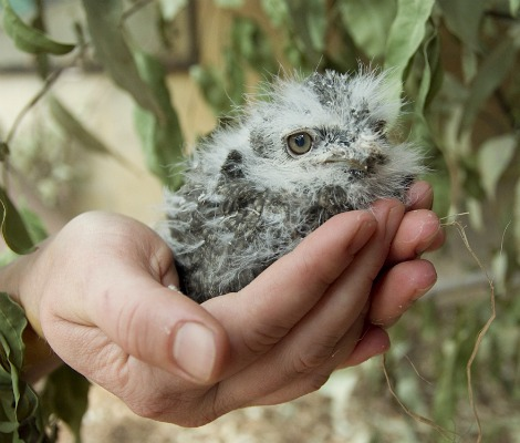 Tawny frogmouth chick adelaide zoo 1b