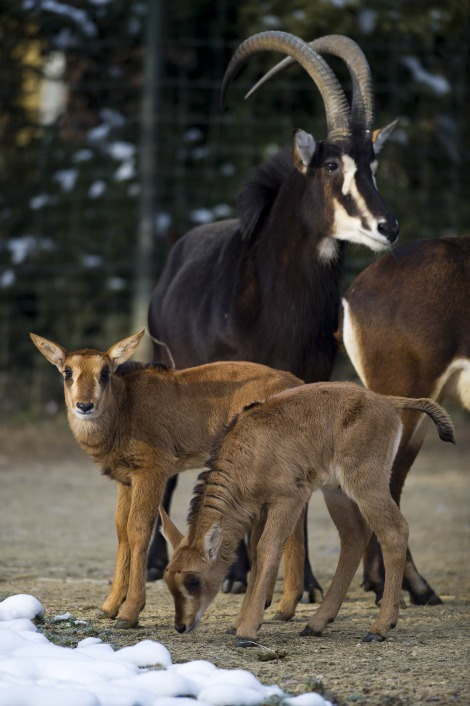 Sable Antelope Calf at Zoo Basel 1