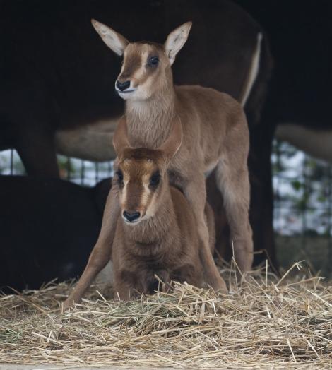 Sable Antelope Calf at Zoo Basel 1