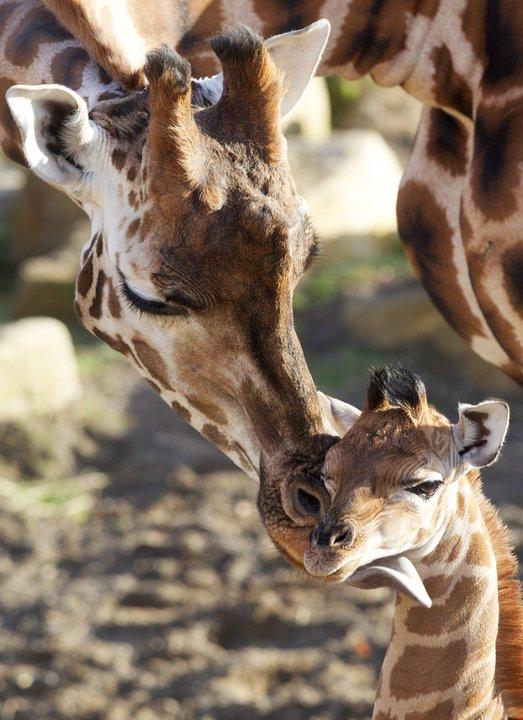 Dublin Zoo Giraffe Calf 1