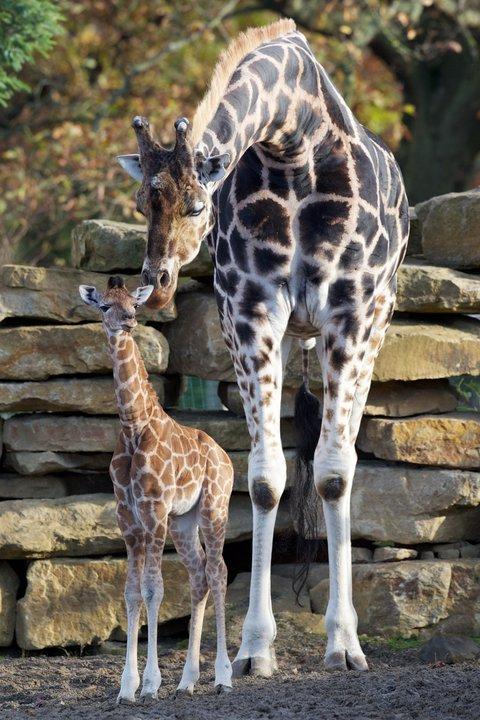 Dublin Zoo Giraffe Calf 3