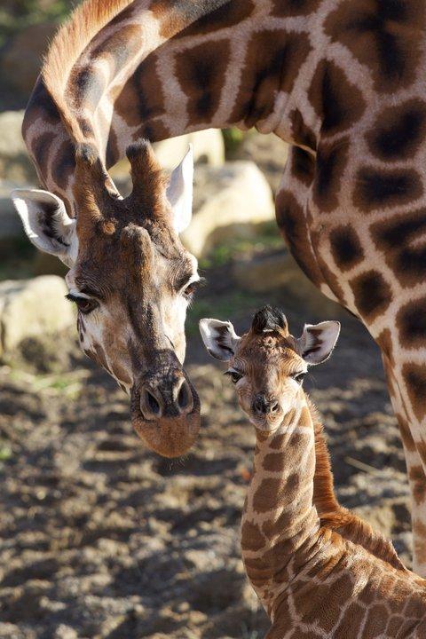 Dublin Zoo Giraffe Calf 4