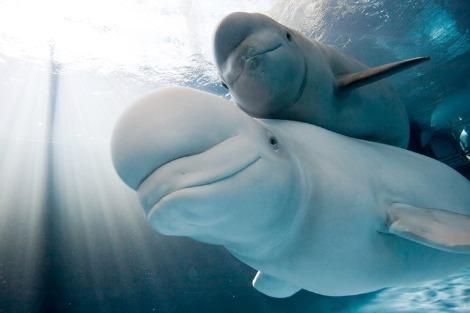 Baby Beluga Nunavik Shedd Aquarium 1