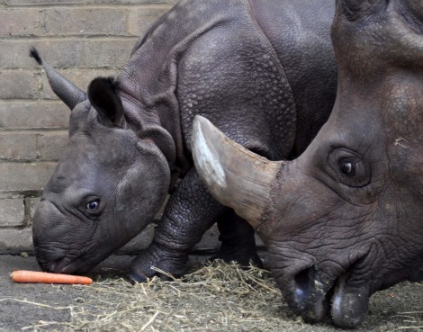Baby rhino and mom after a bath