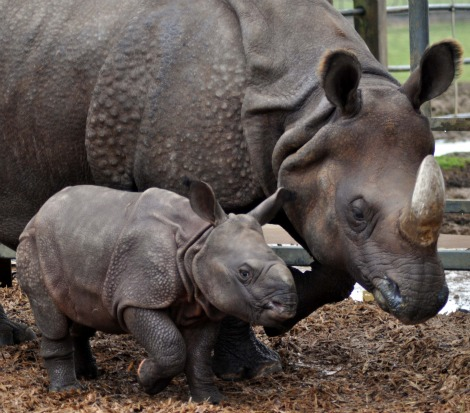 Baby rhino calf and mom side by side
