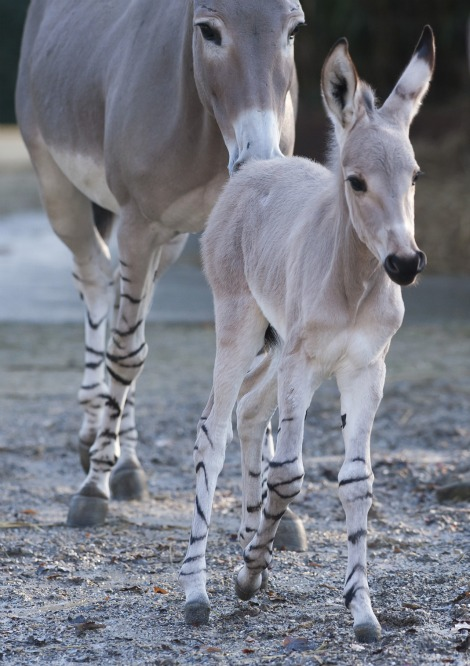 Somali Wild Ass Foal with Mom