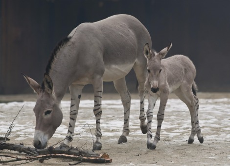 Somali Wild Ass Foal in Barn