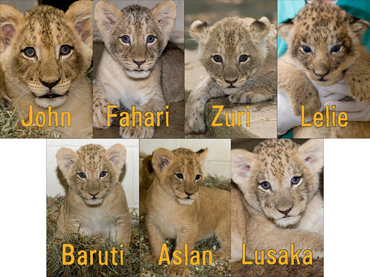 Lion-Cubs_Smithsonian-Zoo