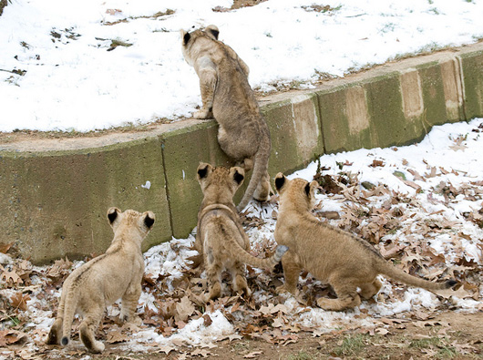 Lion-Cubs_Smithsonian-Zoo1