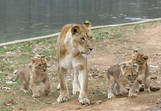 Lion-Cubs_Smithsonian-Zoo2