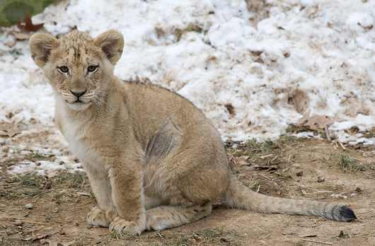 Lion-Cubs_Smithsonian-Zoo6
