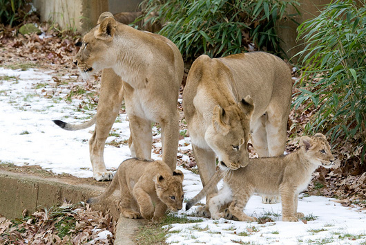 Lion-Cubs_Smithsonian-Zoo5
