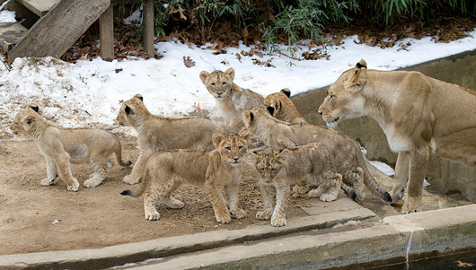 Lion-Cubs_Smithsonian-Zoo4