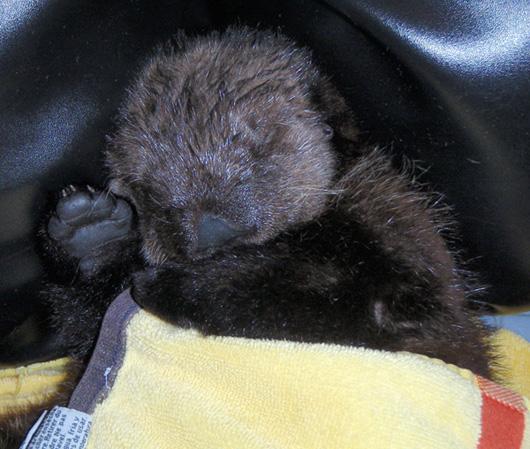 Ollie_Sleeping_with_towel_600pxl