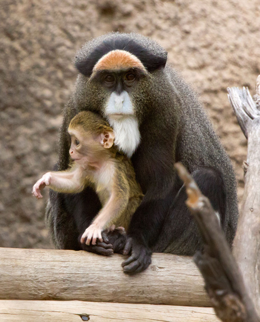 Baby De Brazza's Monkey Denver Zoo