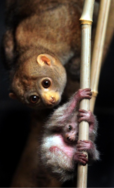Baby Potto Cincinnati Zoo hanging from a branch