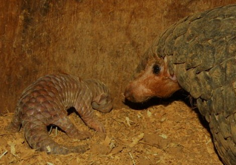 Newborn Pangolin with closed eyes at the Taipei Zoo