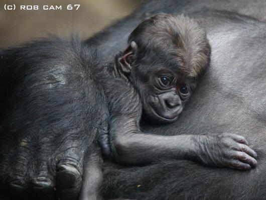 Gorilla_6