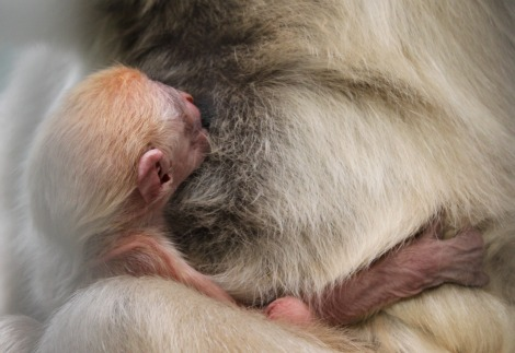Baby White-Cheeked Gibbon by Anita Yantz 2b