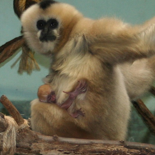 Baby White-Cheeked Gibbon and Mom by Lisa Rank 2b