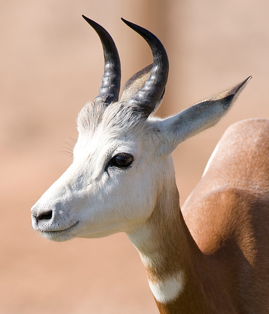 Mhorr-gazelle-003crop