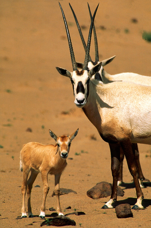 Arabian-oryx-014