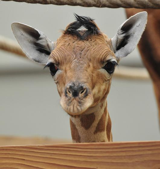 Planckendael-Giraffe-Calf
