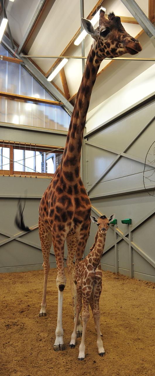 Planckendael-Giraffe-Calf6