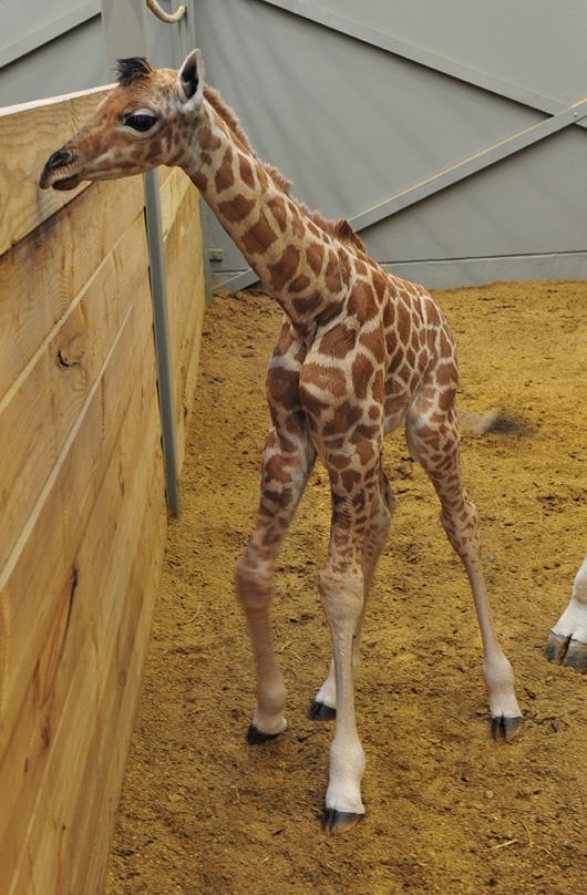 Planckendael-Giraffe-Calf5