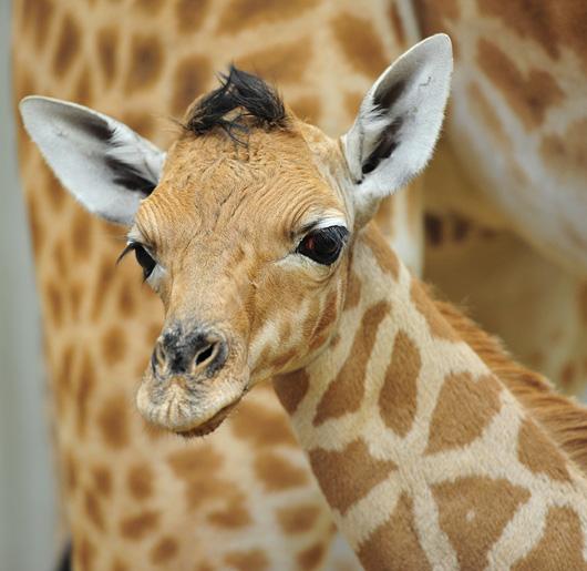 Planckendael-Giraffe-Calf2