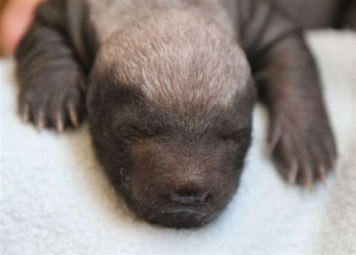 Baby Honey Badger Joburg Zoo at 10-14 days old
