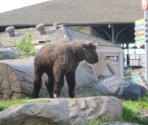 Baby Takin is king of the a smaller hill at San Diego Zoo