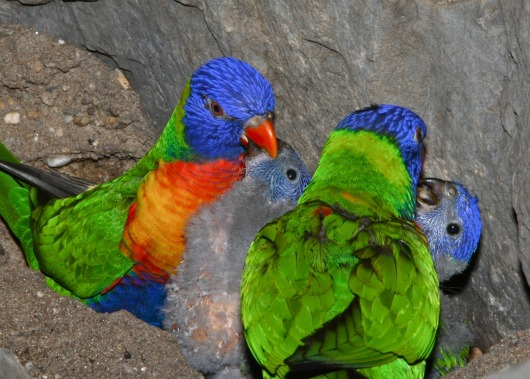 Rainbow Lorikeet chicks enjoying a snack at Allwetterzoo Münster