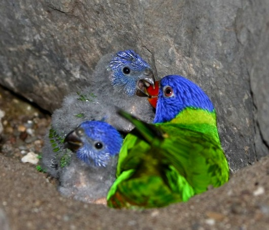 Rainbow Lorikeet chicks at Allwetterzoo Münster 2