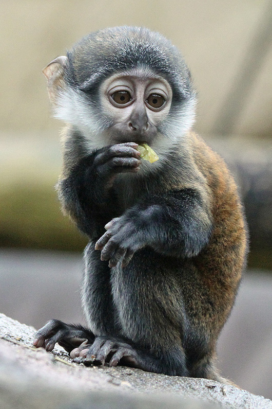 Colchester-Zoo-Le-Hoest-Monkey-2
