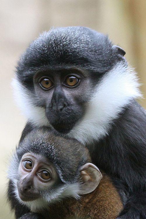 Colchester-Zoo-Le-Hoest-Monkey-3