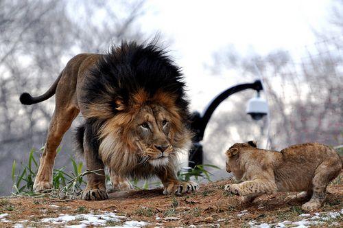 Naba Shera And Luke Three Lions Posing Together
