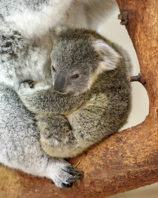 Owen the Koala clings to mom at the Riverbanks Zoo 2