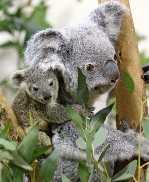 Owen the Koala clings to mom Lottie at the Riverbanks Zoo