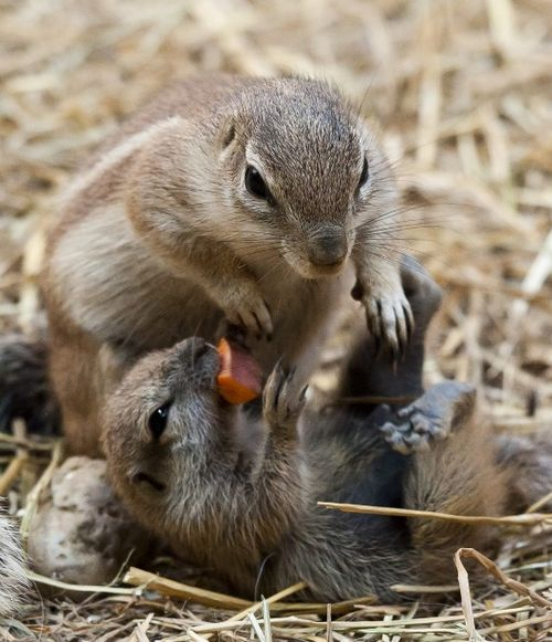 African Ground Squirrel pups rough-housing at Zoo Basel