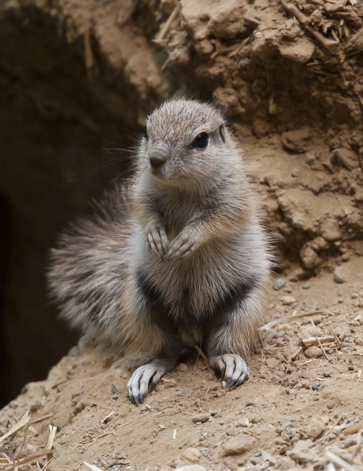 Portrait of an African Ground Squirrel as a young man