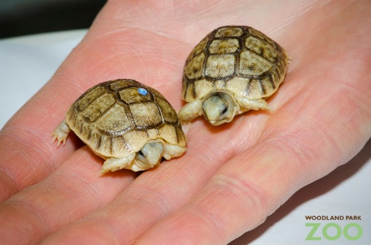Egyptian Tortoise hatchlings read palms! Who knew