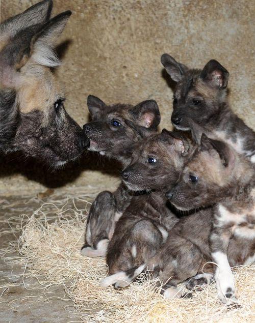 African-Wild-Dog-Puppies-5