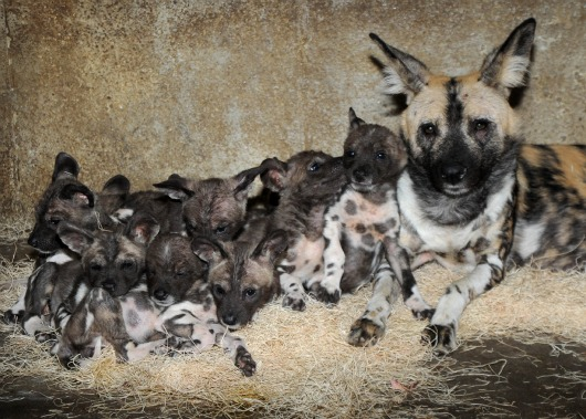 African-Wild-Dog-Puppies-9