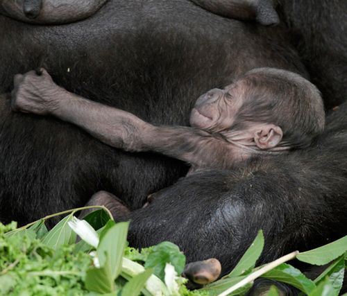 Kipenzi-Taronga-Zoo-Gorilla-1