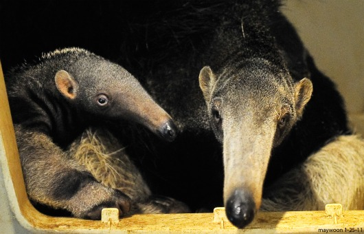 Baby Giant Anteater and Mom at San Francisco Zoo 1
