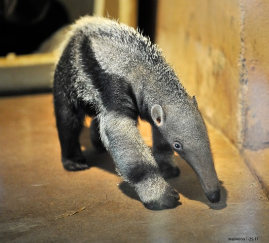 Baby Giant Anteater at San Francisco Zoo 2