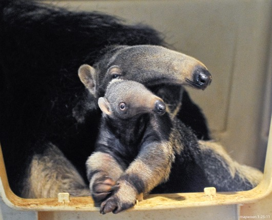 Baby Giant Anteater and Mom at San Francisco Zoo 3