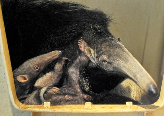 Baby Giant Anteater and Mom 5